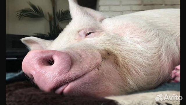 Свинья беременная во сне 1