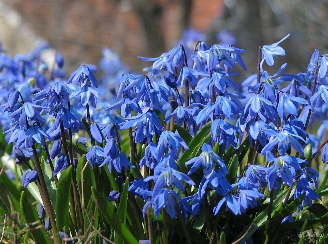 Цветы синего цвета в россии