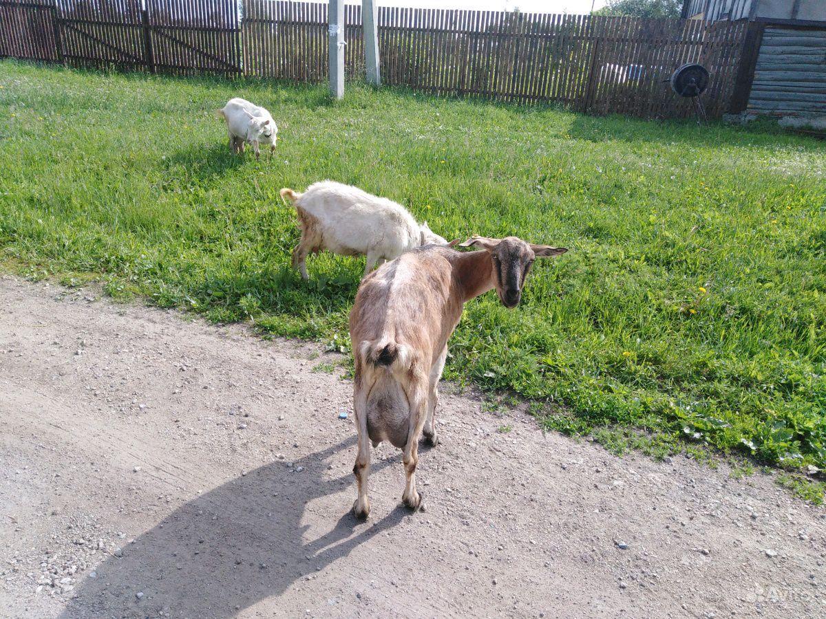 Распродам двойных молочных коз, козлят от 2 до 7 м