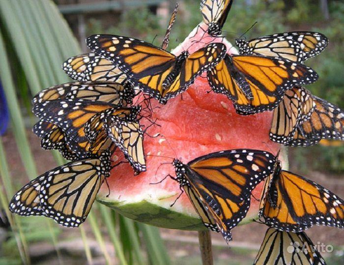 Живые Тропические бабочки Сова Андромеда - фотография № 7