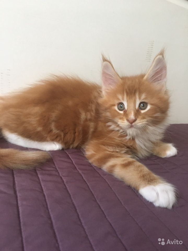 Котики Мейн кун