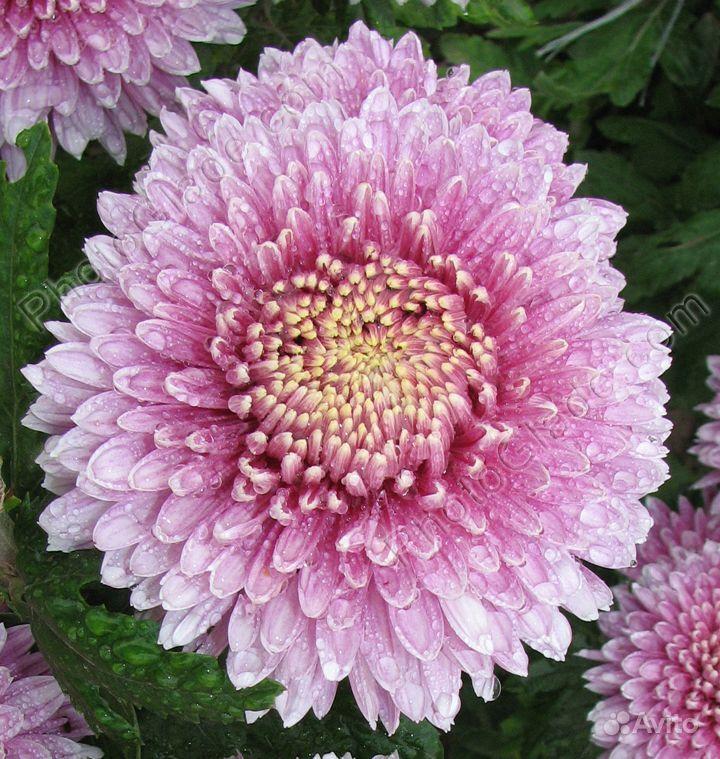 Хризантема корейская среднерослая крупноцветковая купить на Зозу.ру - фотография № 2
