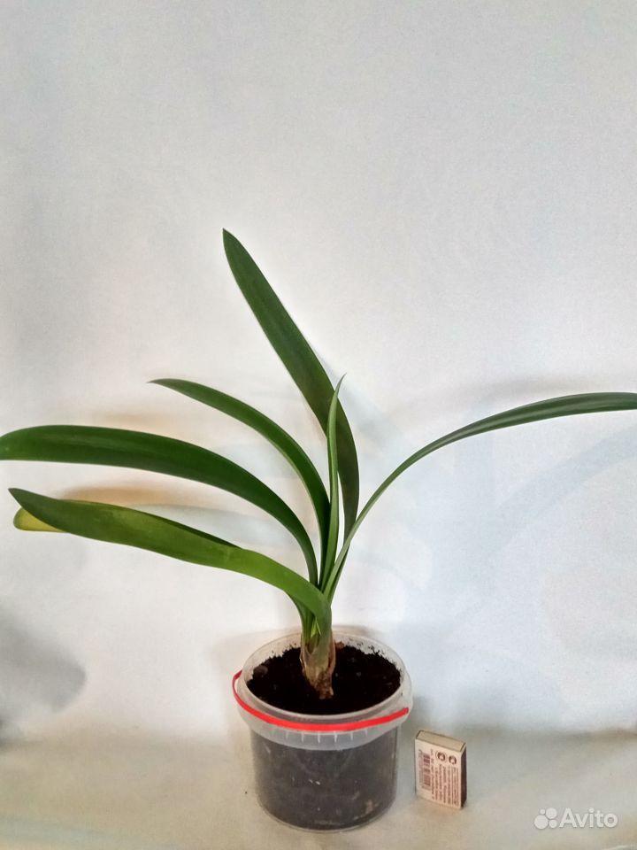 Комнатные растения - кливия и другие растения купить на Зозу.ру - фотография № 3