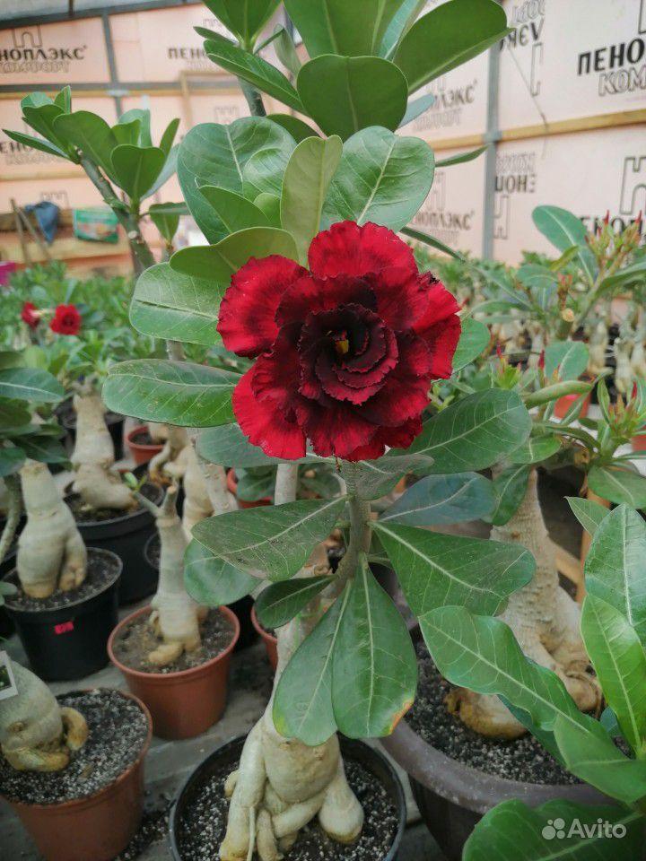 Адениумы- Роза пустыни купить на Зозу.ру - фотография № 3