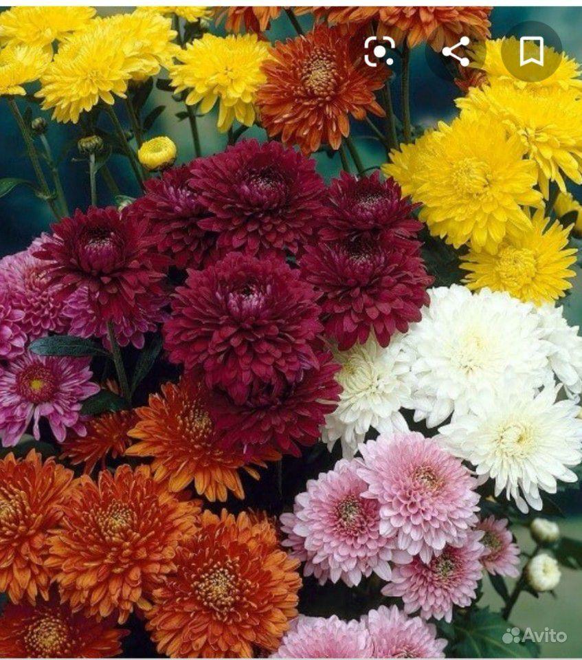 Многолетние цветы купить на Зозу.ру - фотография № 2
