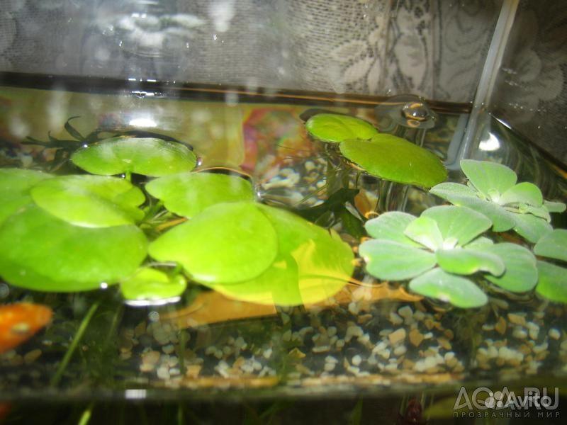 Кувшинка аквариумная купить на Зозу.ру - фотография № 8