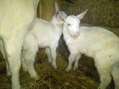 Два зааненских козлика, возраст 20 дней
