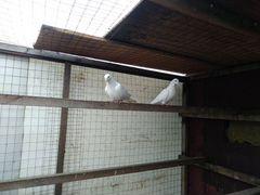 Голуби бакинский