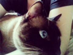 Тайский кот на вязку