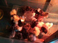Цыплята породы Джерсиийский гигант, брама Колумбий