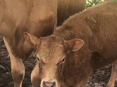 Продаются Коровы с телятами цена договорная