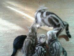 4-х месячные котята с мамой