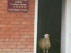 Мрс овцы,ягнята,бараны