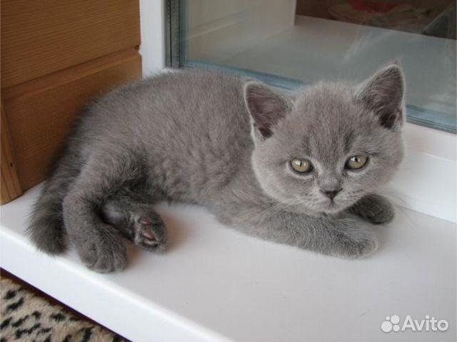 британские 2 месячные котята фото
