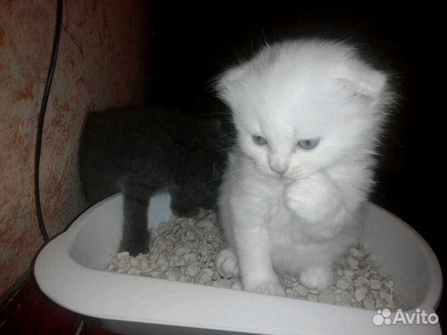 Курске на авито в котята