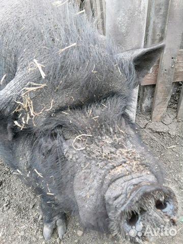 Въетнамские вислобрюхая свиньи 89144631062 купить 1