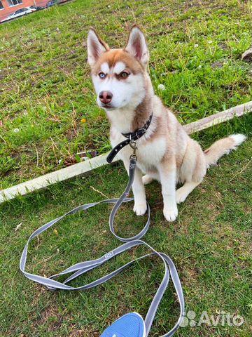 Продам щенка хаски, возраст 7 месяцев