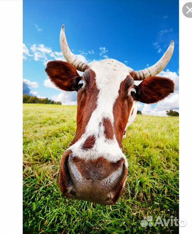 Коровы,телята