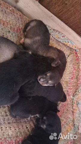 Собака  89190695666 купить 3