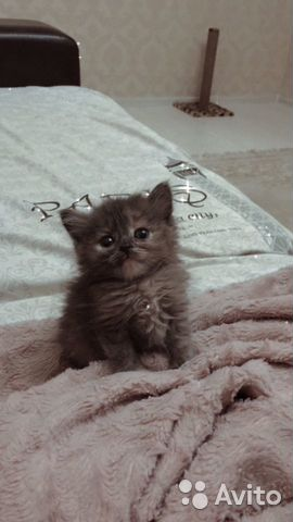 Кошка  купить 5