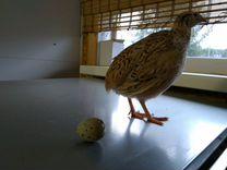 Инкубационное яйцо перепела породы Феникс