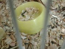 Сирийский хомяк с клеткой