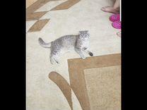 Британский вислоухий котёнок