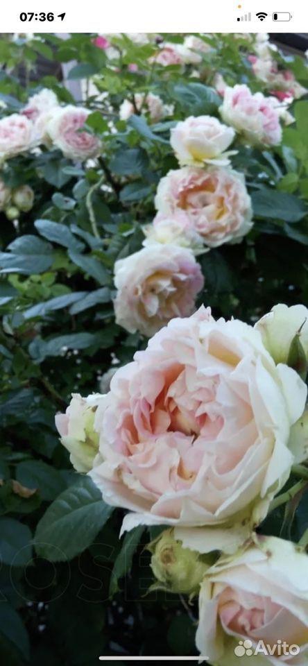 Роза  89023130587 купить 3
