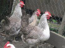 Борковские барвистые - цыплята и инкуб.яйцо