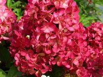 Гортензии Розовоцветущие морозостойкие до 2м