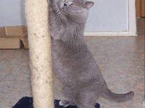 Котята от -папани британские