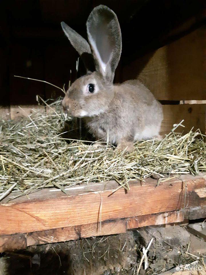 Кролики  89051057026 купить 4