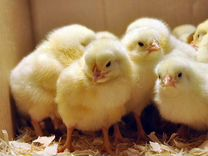 Принимаем заказы на цыплят