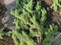 Ёлки оптом (живая сосна новогодняя) — Растения в Москве