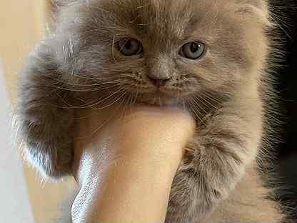 Котенок вислоухий
