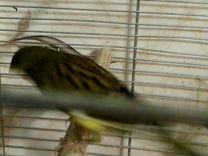 Канарейка — Птицы в Москве