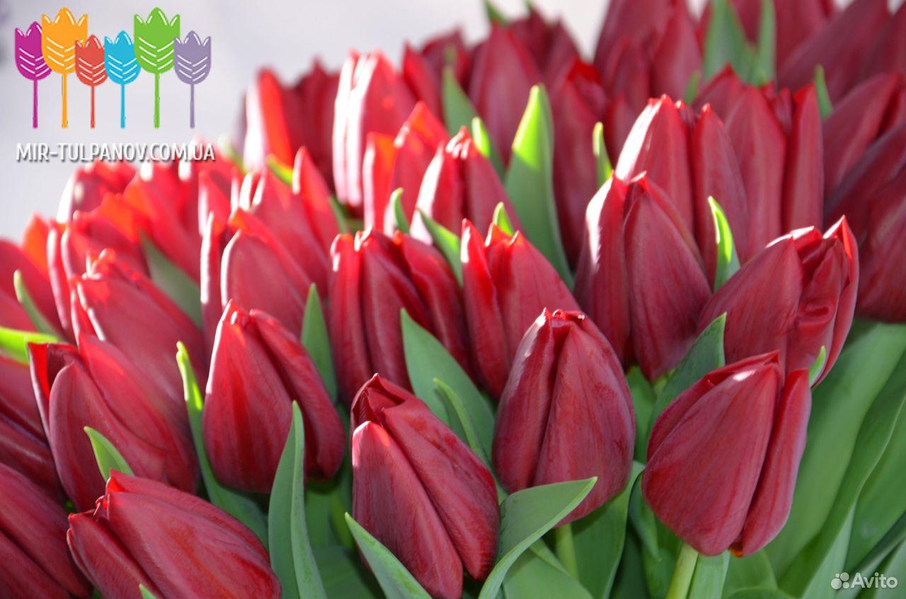 Тюльпаны  89092263980 купить 3
