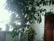 Растение берёза