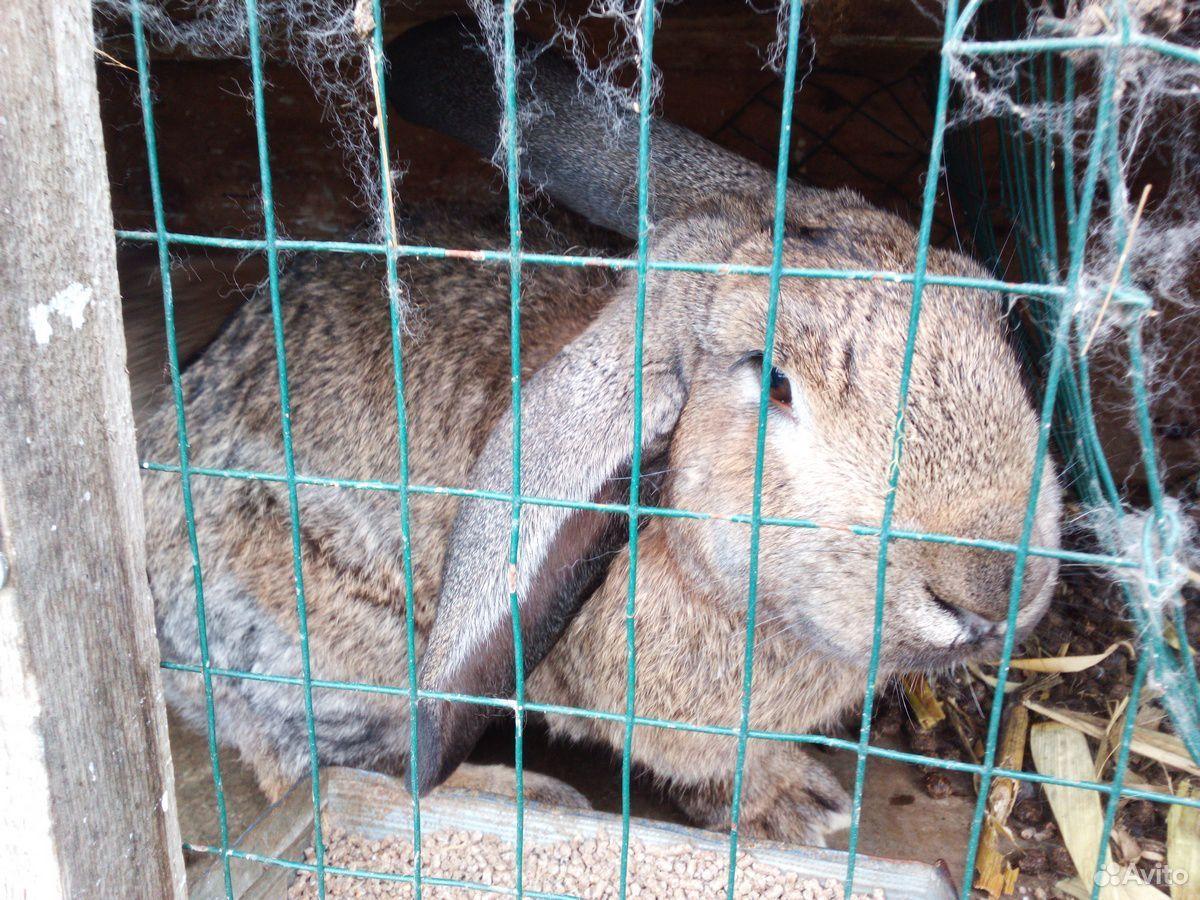 Кролики породы баран  89940099309 купить 3