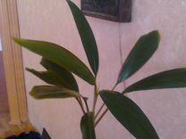 Растение в горшке с поддоном — Растения в Рязани