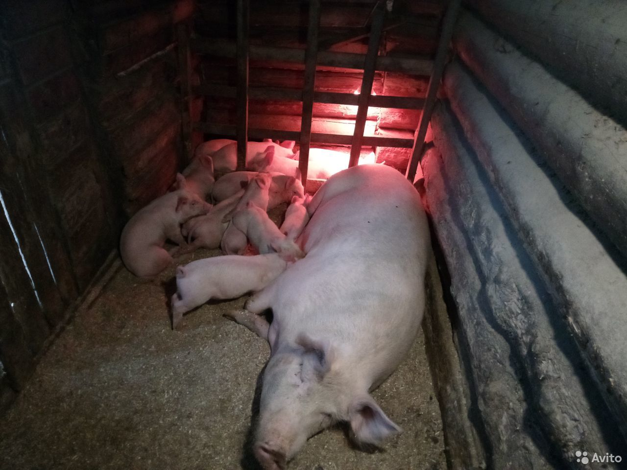 Поросята. Осталось 2 свинки и 3 хрячка. 12-15 кг  89005575791 купить 1