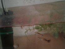 Рыбки гуппи мольки